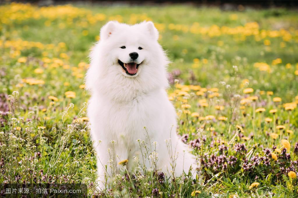 萨莫耶_年轻的快乐微笑的白色萨摩耶犬或bjelkier,smiley,萨米