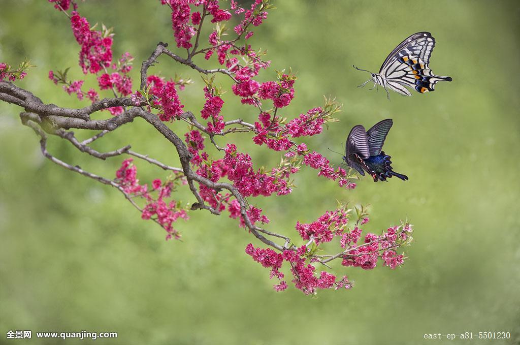 树,蝶恋花,梁祝,化蝶,桃花,梅花,翅膀,飞舞,凤尾蝶,昆虫,黑色,中国图片