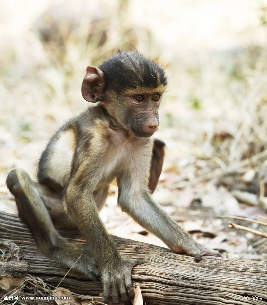 猴子_猴子