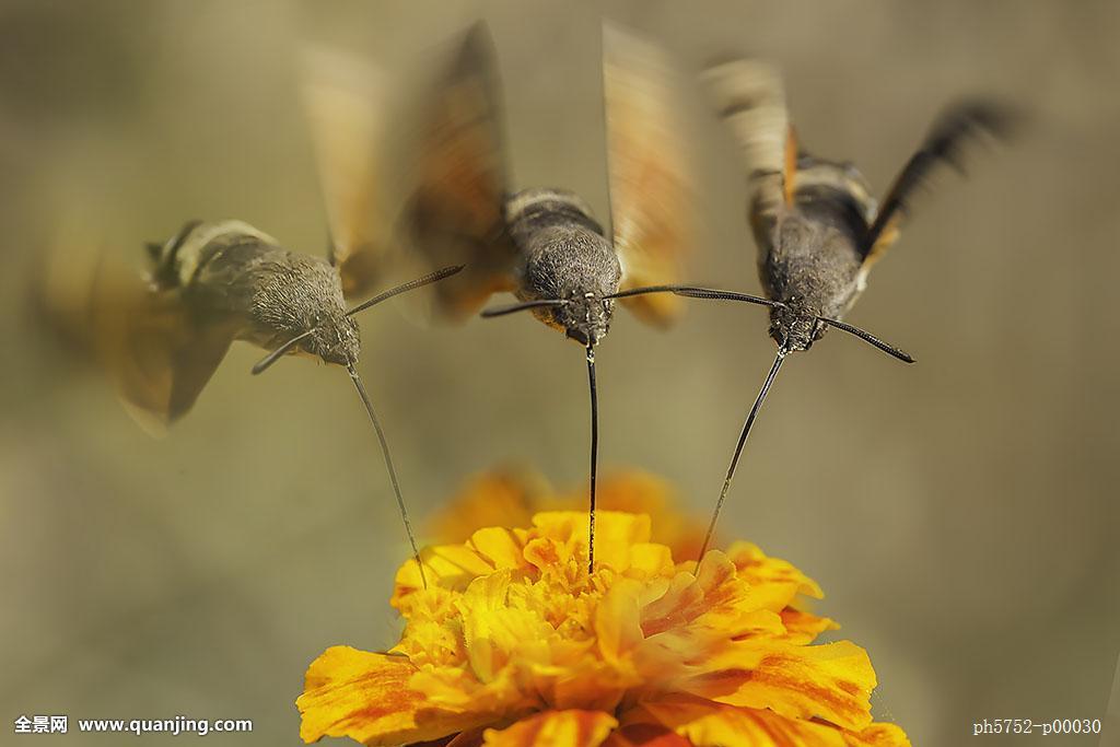 蜂鸟鹰蛾多少钱一只