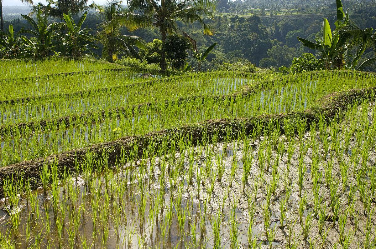 看图写话青蛙在稻田边