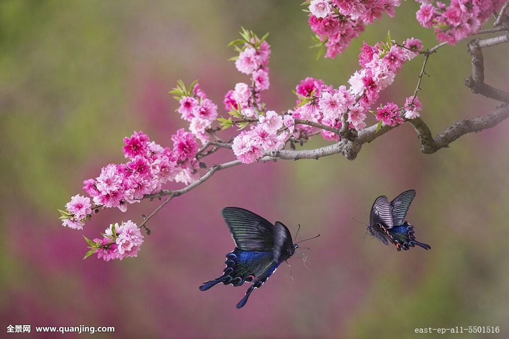 水平构图,翅膀,梅花,桃花,化蝶,梁祝,蝶恋花,美丽,风景,树,植物,绿色图片