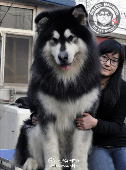 Husky Dog Sale In Sri Lanka
