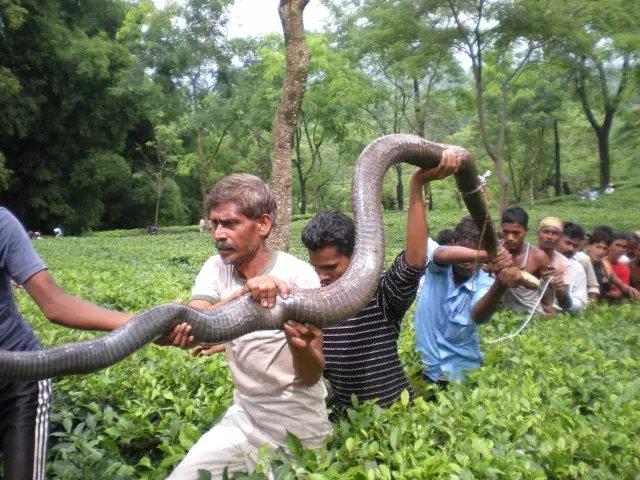 世界上最大五头蛇_是的,这妹子托着一条眼镜王蛇,世界上最大的毒蛇_百科TA说