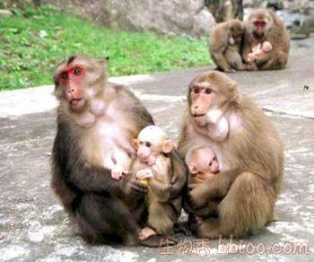 做爱色赌博_体型比猕猴大,体长50~56厘米.成体颜面鲜红色,老年紫红色,幼体肉红色.