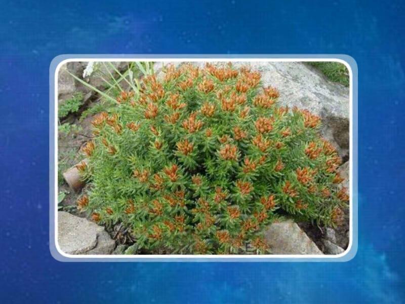 关于林��h���9�-z)�bi_7-8月结果,生于高山草地,岳桦林下及沟谷岩石附近.