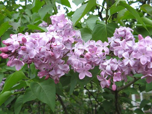 丁香成人网站bt图片_紫丁香绿化苗木花卉销售种子(图)