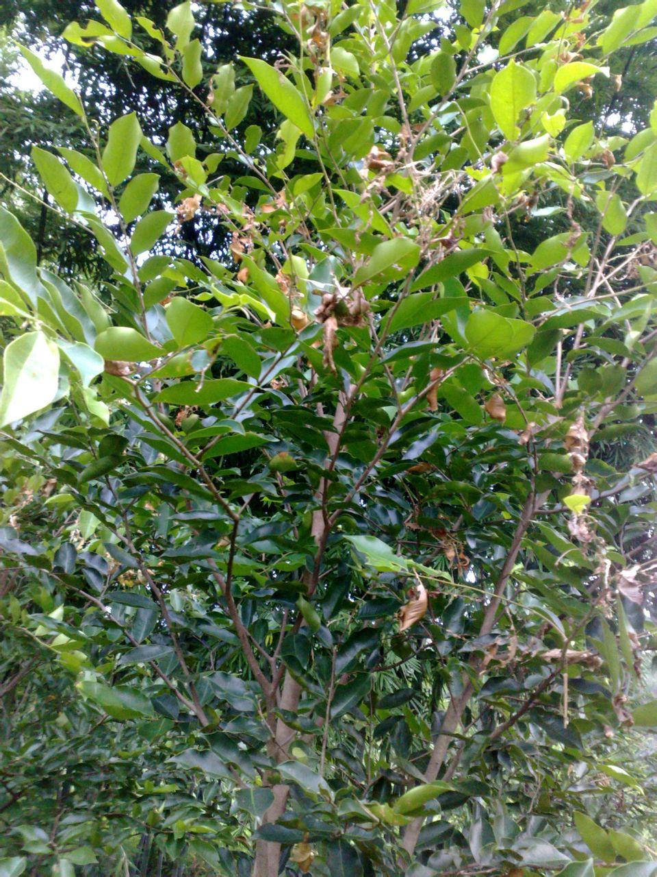 如何种植沉香树_沉香树种植_沉香树种植设计