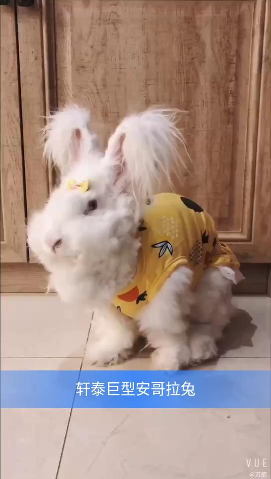 安哥拉兔兔毛价格_安哥拉兔吧-百度贴吧--超级网红兔--安哥拉兔(Angora)是世界著名 ...