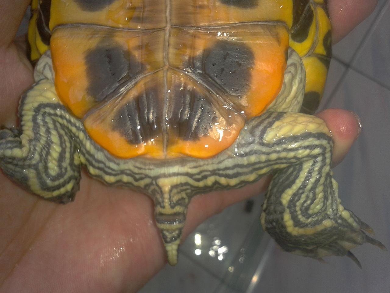 红耳鹎怎么分公母_巴西红耳龟公母图 巴西红耳龟 ...