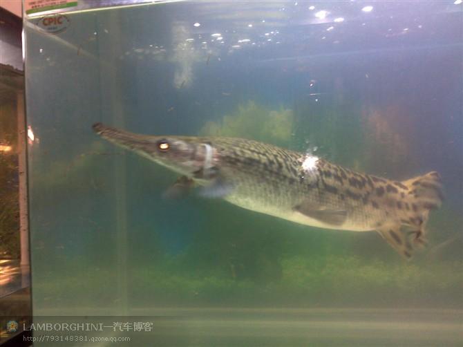 扁嘴鳄图_出售福鳄5条图片