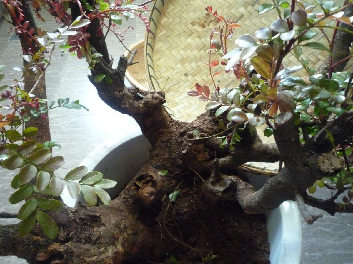 清香木盆景怎么养_清香树多图,清香树出售图片