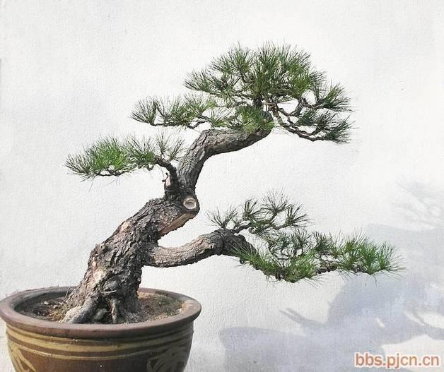 松树盆景制作视频_梅花松盆景图片图片_梅花松盆景图片图片下载