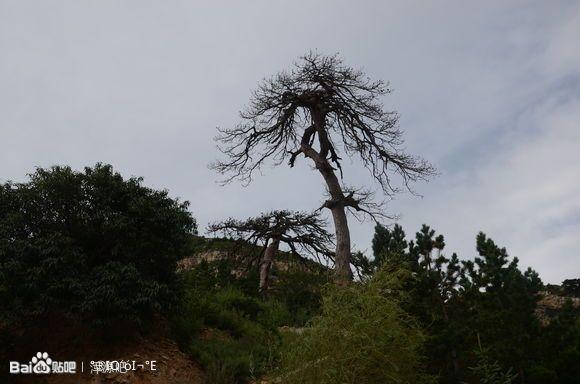 千年古尸产下_千年古松树图片展示_千年古松树图片下载