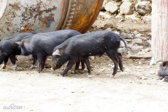蕨麻猪养殖视频_【图片】岷县蕨麻猪肉销售,想吃的朋友赶紧订购……_岷县吧 ...