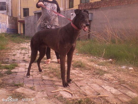 格力犬狗种小包配种_【图片】出售国产种公大包之子【格力犬吧】_百度贴吧