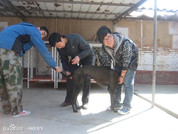 格力犬狗种小包配种_【图片】大包女和优诺配狗照【格力犬吧】_百度贴吧