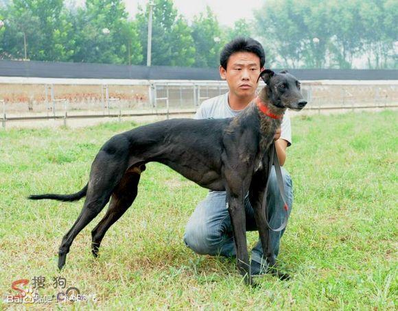 格力犬狗种小包配种_好久 没看见 这么漂亮的格力犬了!!!_格力犬吧_百度贴吧