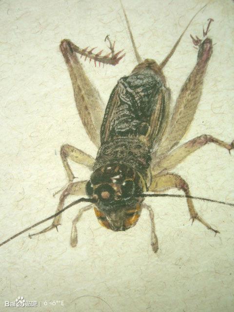 蟋蟀论坛虫王图片_收集点异虫图片。。。。_蟋蟀吧_百度贴吧