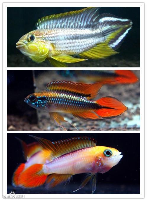 阿卡西短鲷_【图片】【新手必读】市面上最常见的热带鱼(小型鱼)(第二 ...