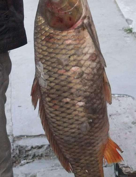 钓鱼吧_补发野钓14斤大鲤鱼图片_钓鱼吧_百度贴吧