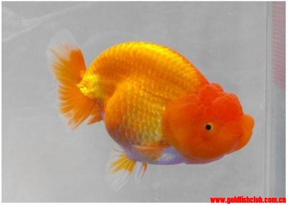 蓝色兰寿金鱼图片_极品兰寿,大家鉴赏品评【金鱼吧】_百度贴吧