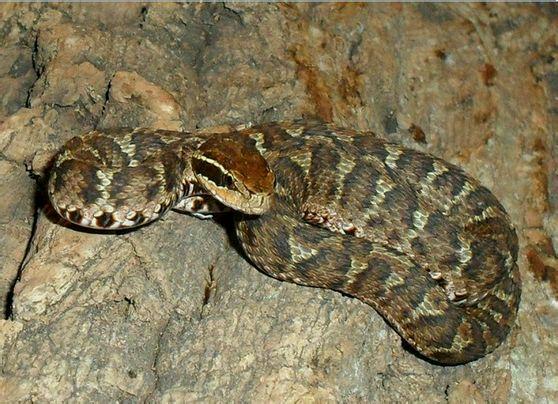 长江短尾蝮_【曼陀罗】国内常见剧毒蛇与其分布_蛇吧_百度贴吧