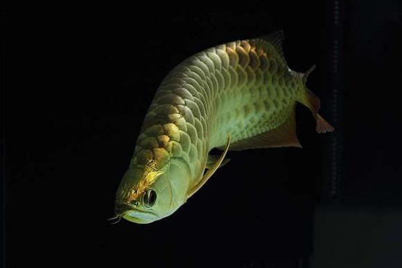 b过背金龙鱼价格_【图片】【转】金龙鱼品种分类详解_龙鱼吧_百度贴吧