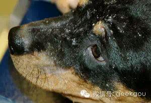 头部脂溢性皮炎贴吧_犬皮肤病图片大全,有了这个就知道狗狗得了什么皮肤病_金毛吧 ...
