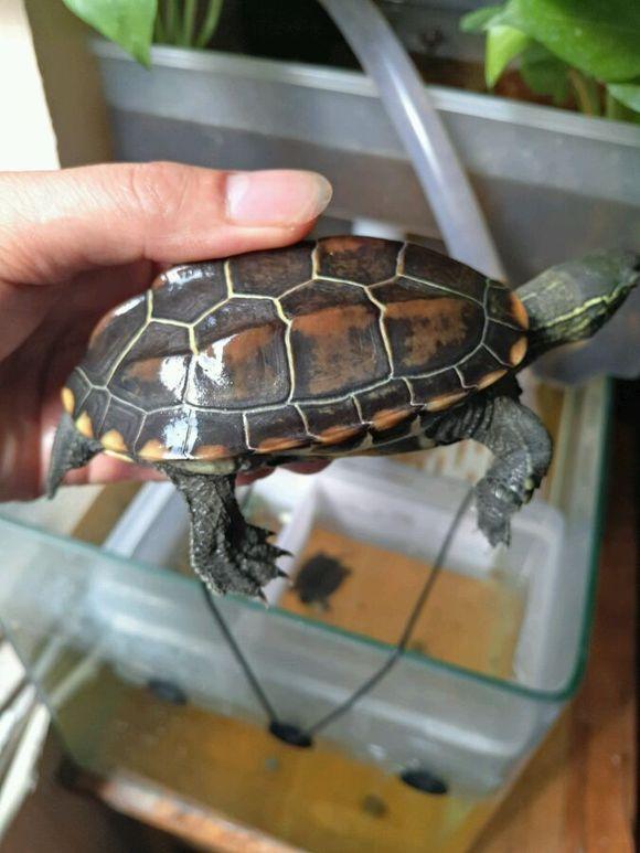 小乌龟浮在水面_【图片】草龟如何养成深水龟?【中华草龟吧】_百度贴吧
