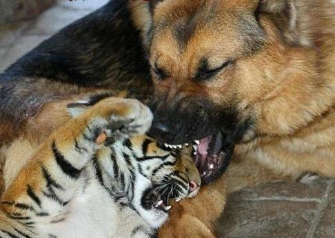 虎落平阳被犬欺全文_【图片】我们家邻居捡垃圾捡到三只老虎上新闻了【有视频有 ...