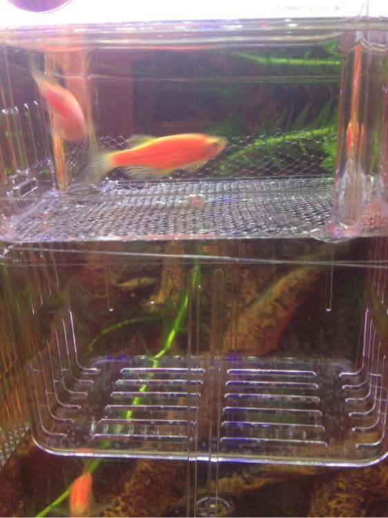 红斑马鱼好养吗_【视频】抓拍 红斑马 繁殖排卵现场【斑马鱼吧】_百度贴吧
