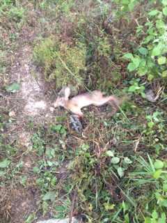 下夹子捕野兔秘绝图片_有收夹子抓的野兔吗?图片