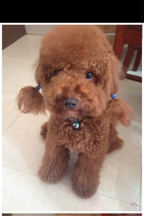 给狗带牛的名字_怎么给泰迪狗狗扎辫子-泰迪耳朵扎辫子过一程/泰迪耳朵毛怎样编 ...