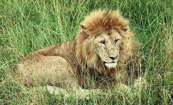 色中色黄中黄a片_一头鬃毛浓密的雄性努比亚狮,且毛色更偏向黄中带橙.