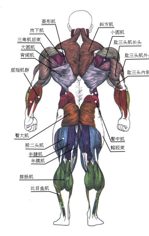 身体肌肉图_人体肌肉结构简图_跑酷吧_百度贴吧