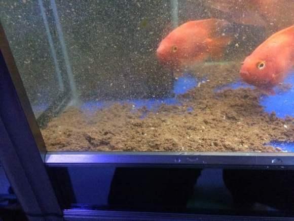 清理鱼缸的鱼种类_【图片】求助,底滤鱼缸鱼粪便问题【鹦鹉鱼吧】_百度贴吧