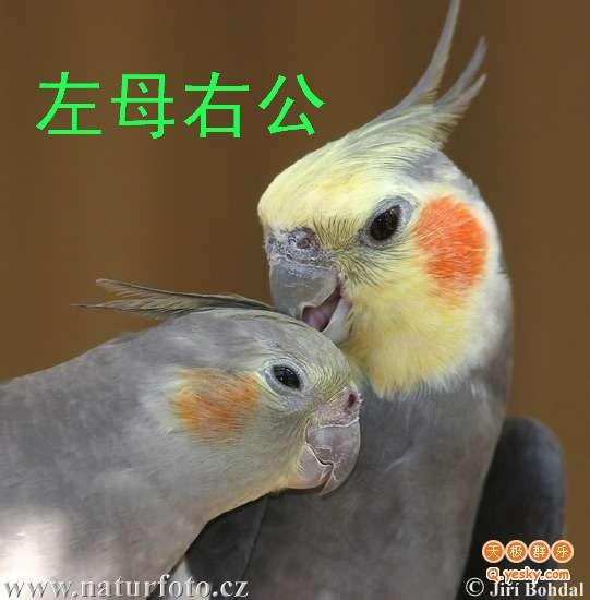 黄化玄凤鹦鹉分公母_【图片】玄凤分公母的各种方法【玄凤鹦鹉吧】_百度贴吧