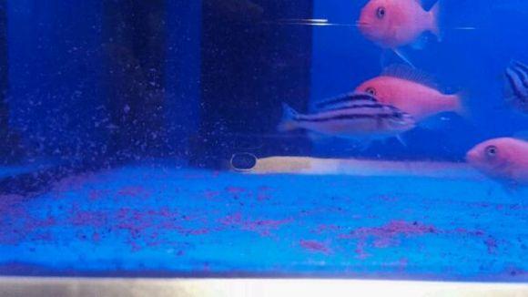 清理鱼缸的鱼种类_底滤,有底沙的鱼缸,怎么清理鱼粪便【三湖慈鲷吧】_百度贴吧