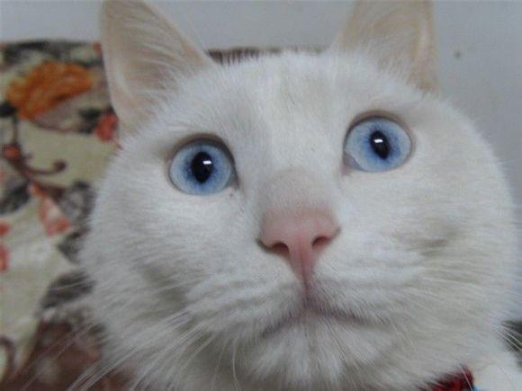 白毛蓝眼睛的猫_蓝眼睛的猫都是聋子?_猫吧_百度贴吧