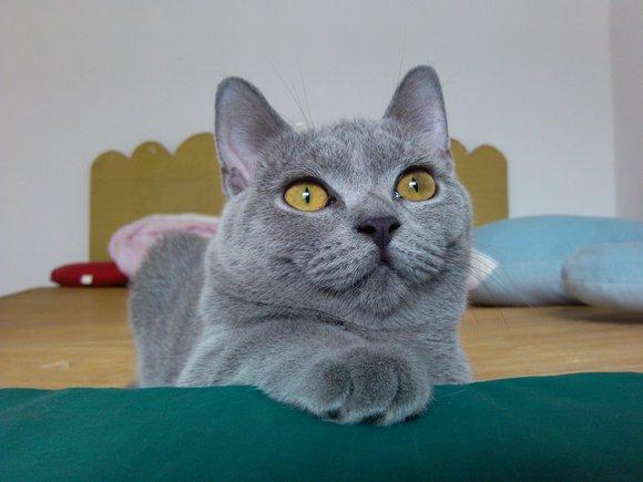 英国短毛猫蓝猫欣赏 嘿嘿
