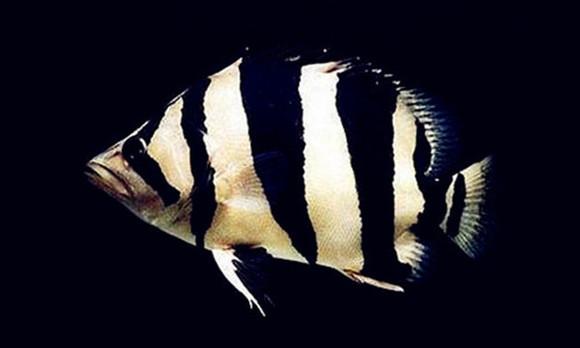 印尼苏门答腊岛龙鱼_【图片】【转】虎鱼品种概述【龙鱼吧】_百度贴吧