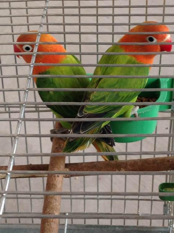 绿金丝牡丹鹦鹉_【图片】绿金丝【牡丹鹦鹉吧】_百度贴吧