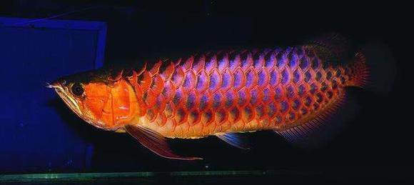 印尼苏门答腊岛龙鱼_【图片】世界最贵的鱼,400万一条血红龙!创吉尼斯世界纪录 ...