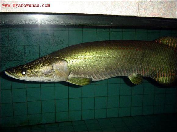 印尼苏门答腊岛龙鱼_【图片】【转】最全的龙鱼种类介绍【中国龙鱼吧】_百度贴吧