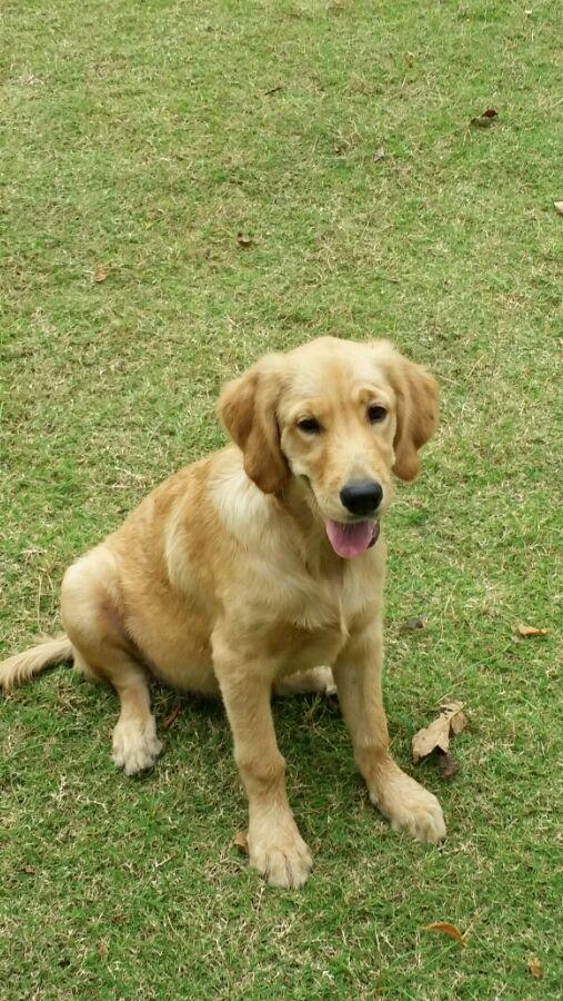 5个月金毛犬图片_【图片】狗狗五个多月,今天早上到现在吐白色的,也不吃东西 ...
