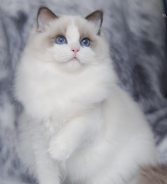 贴吧镇楼女神_【图片】最近布偶猫太火,来个简单的小科普【宠物吧】_百度贴吧