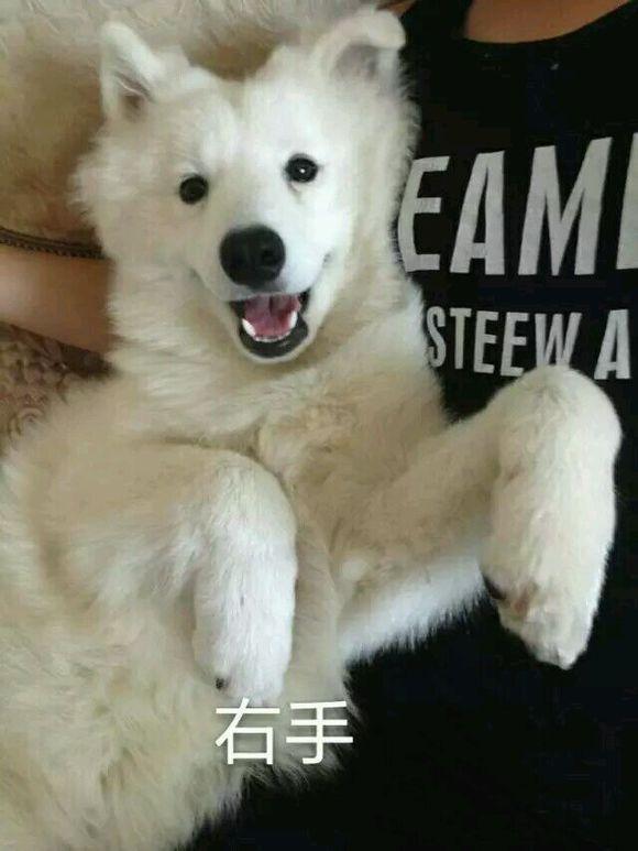 萨摩耶5个月有多大_【图片】爱斯基摩犬,银狐,萨摩耶,傻傻分不清楚_萨摩耶吧 ...