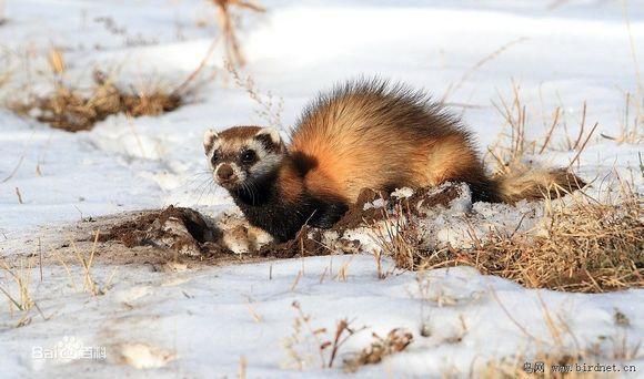 黄鼬宠物_【图片】【趣味】雪貂是貂还是鼬?【宠物貂吧】_百度贴吧