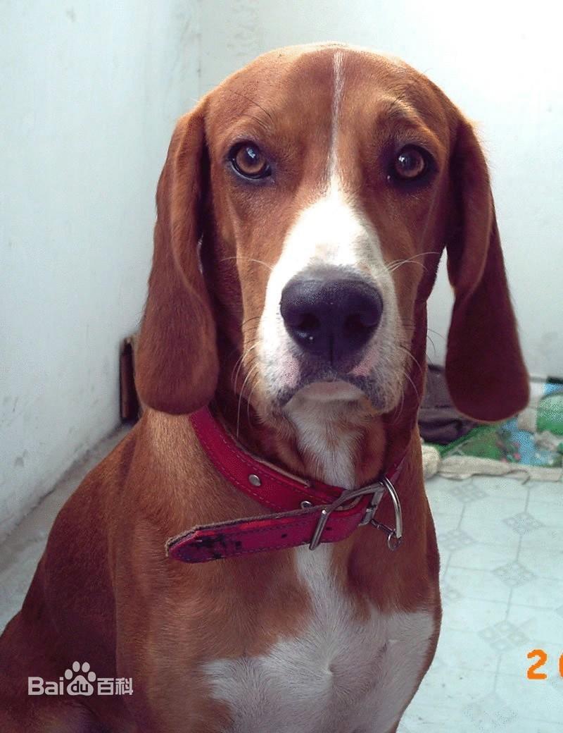 血堤犬_【图片】那些和比格相似的狗狗:看看到底有多少种?_比格吧